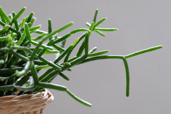 Urban Jungle Bloggers, Botanical Zoom, Minza will Sommer, Zimmerpflanzen Trend, Interiorblog, Wohnen mit Pflanzen, mit Pflanzen dekorieren, Rhipsalis