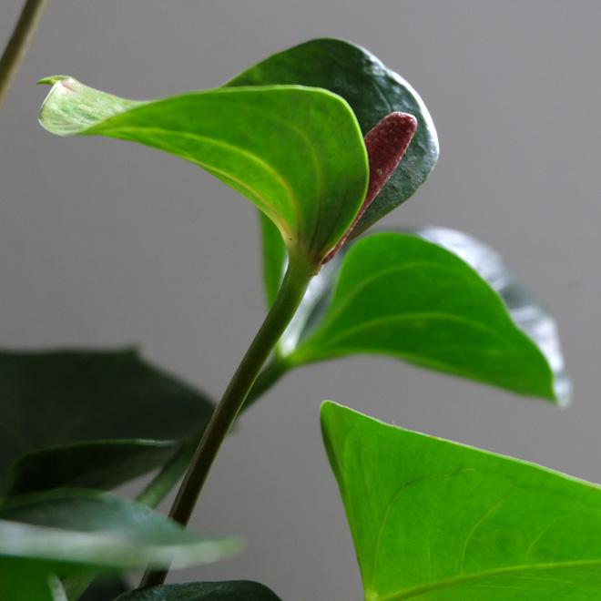 Urban Jungle Bloggers, Botanical Zoom, Minza will Sommer, Zimmerpflanzen Trend, Interiorblog, Wohnen mit Pflanzen, mit Pflanzen dekorieren, Anthurie, Anthurium
