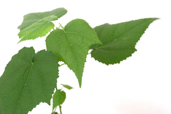 Urban Jungle Bloggers, Botanical Zoom, Minza will Sommer, Zimmerpflanzen Trend, Interiorblog, Wohnen mit Pflanzen, mit Pflanzen dekorieren, Zimmerlinde
