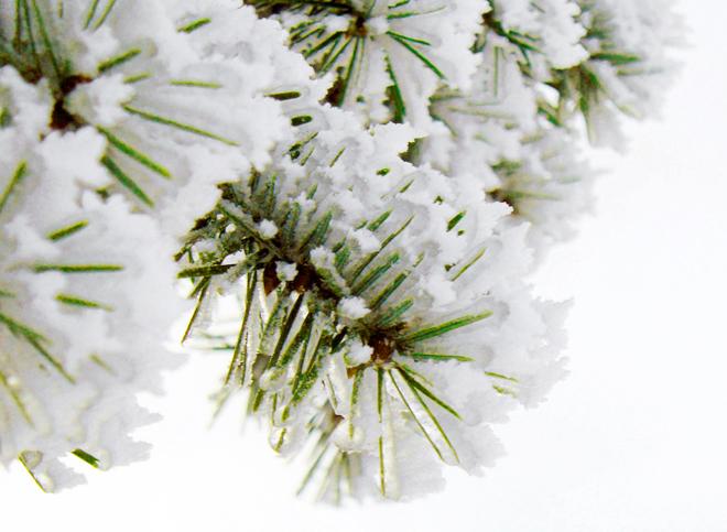 Öko-Weihnachtsbaum, nachhaltiger Weihnachtsbaum, Plastikbaum oder echter Baum, Ökobilanz Weihnachtsbaum, Nordmanntanne und Samen aus Georgien, Bio-Weihnachtsbaum, Siegel Weihnachtsbäume, nachhaltige Weihnachten